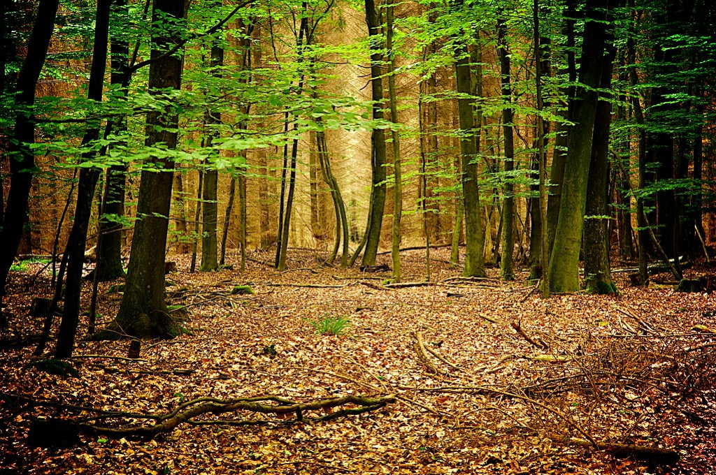 Beech Trees at Sachsenwald