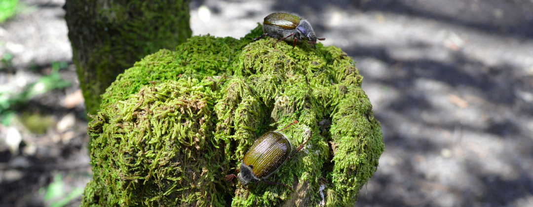 beetles on stump