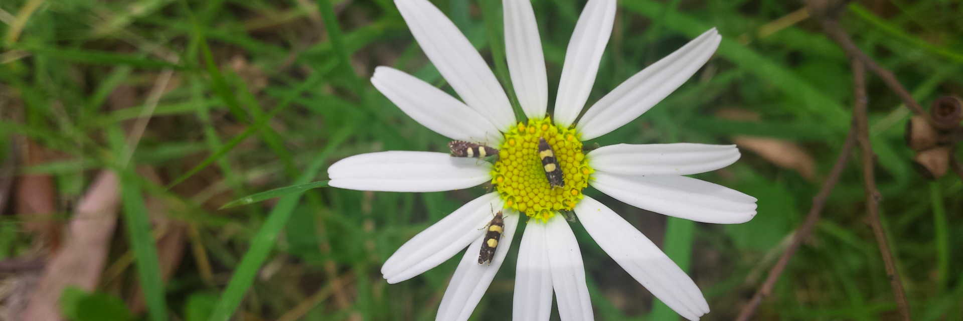 beetles inside white flower